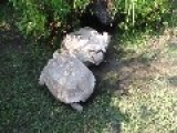Amazing! Good Guy Tortoise Helps A Friend In Need Get Back On His Feet