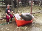Adorable Baby Elephant Slips And Slides In Tiny Bathtub