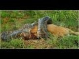 African Rock Python Vs Lion, Fight