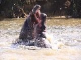 Aggressive Hippos Battle To Prove Dominance