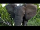 Angry Elephant Charges & Stabs Vehicle