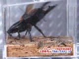 Alcides Stag Beetle VS Asian Giant Hornet