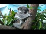 A Baby Koala Inside A Mother's Pouch At Taipei Zoo