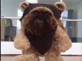 At Last, A Real Ewok Captured