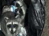 Adorable Raccoons Caught Rummaging In Trash Can