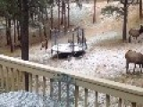 Baby Elk On Trampoline