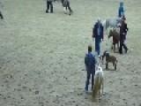 Baby Miniature Horse Runs Wild