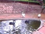 Black Swans And Mute Swans In Visakhapatnam Zoo