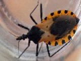 Blood-sucking 'kissing Bug' Sees 300k Americans Infected With Deadly Disease