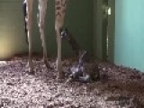 Birth Of Giraffe At Australia Zoo