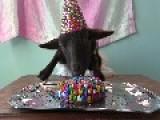 Birthday Goat Celebrates In Style