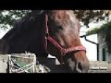 Beautiful Horse Inside The Round Pen