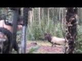 Bull Elk Bow Kill