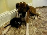 Boxer And Kitten Are Pals