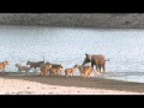Baby Elephant Fights 14 Lions