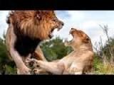 Big Lion Fight In Masai Marai Amazing