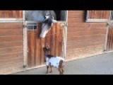 Baby Goat Desperate To Headbutt A Horse
