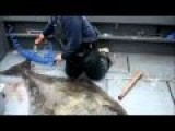 Beware - Not For Animal Lovers - Filleting A 300 Pound Alaskan Halibut