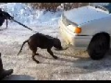 Beast Of A Pitbull Pulls Car