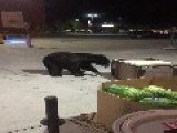 Bear Digs Through Trashcan, Doesn't See Box Of Watermelons