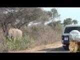 Baaahahaha Road Rage In Kruger National Park On Safari