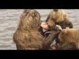Bears Hunting Salmon In Russia's Far East