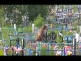 Bears Scavenging Graveyard When Food Is Scarce