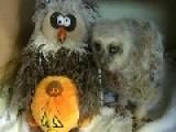 Baby Owl And Fake Owl Do The Monster Mash