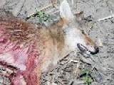 Brutal Hunter Lures Hapless Coyotes To Their Death