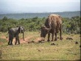Baby Elephant Vs Water Buffalo Bull