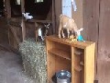 Barn Cat Is Unimpressed By Giddy Goats
