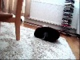 Black Kitten Is Playing Very Cute