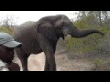 Bull Elephant In Musth Slow-Speed Chase