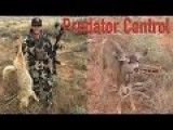 Bowhunter Saves Fawn From Two Hungry Coyotes