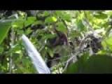 Boa Constrictor Eats Howler Monkey