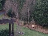 Bull Elk And Dog At Play ..... Or Is The Elk Warning The Dog ?