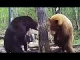 Bear Attacks Another Bear! Fight Caught On Game Camera