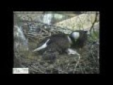 Bald Eagles Bring Cat To Nest For Eaglets
