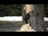 Big Pilated Woodpecker