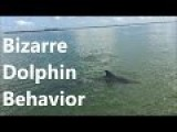 Bizarre Dolphin Behavior