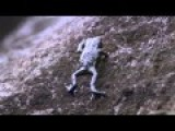 Bouncing Pebble Toad