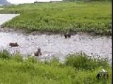 Brown Bears Go Deep Diving