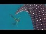 Beautiful Mermaid Swims With Majestic Whale Shark
