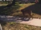 Bobcat Confrontation Caught On Video At Dallas Suburb