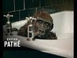 British Pathe, Gorilla Takes A Bath 1967