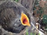 Baby Bird Snatching At The Camera, With Angry Mom Nearby Happy Mother's Day