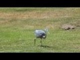 Blue Herons Eat Gophers
