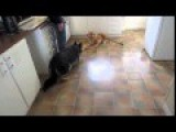 Brave And Curious German Shepherd Meets The Kitchen Tiger