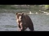 Brown Bear Goes Hunting In A River