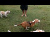 Beagles Chase And Bark At A Remote Controlled Car